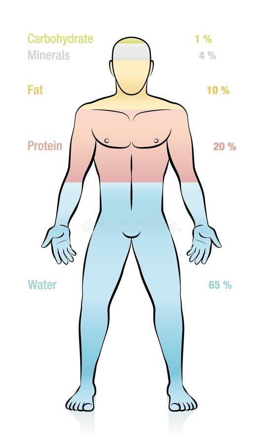 Mineraler för protein för sammansättningsmänniskokroppvatten manliga feta stock illustrationer