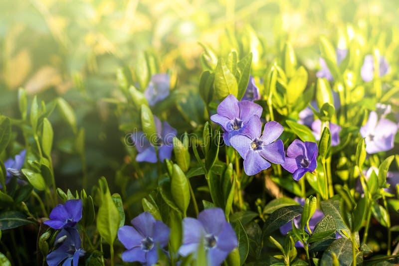MINEUR DE VINCA Fleurs bleues de source photo stock