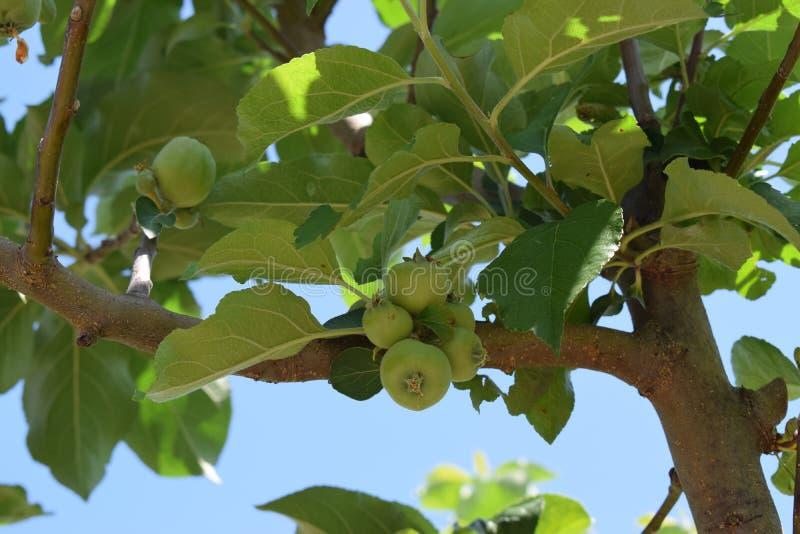 Minha árvore de maçã! fotografia de stock royalty free