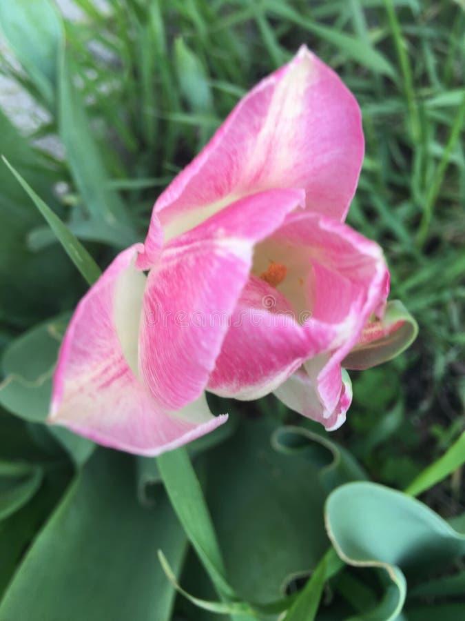 Minha flor cor-de-rosa bonita da mola fotografia de stock