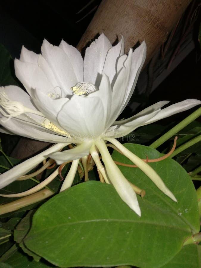 Minha flor de uma noite fotografia de stock