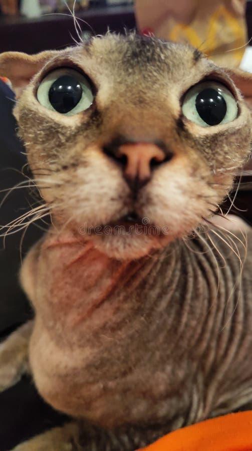 Minha raça Levkoy ucraniano do gato fotografia de stock