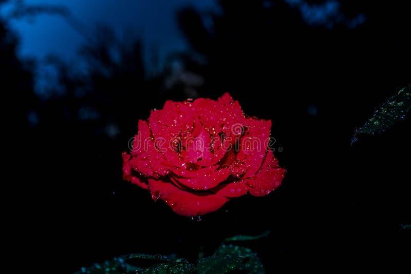 Minha rosa soecial, eu tomarei sempre dela imagem de stock