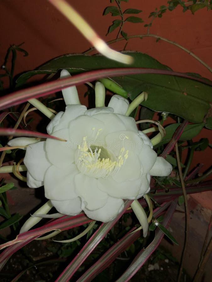 Minha um último noite da flor fotografia de stock