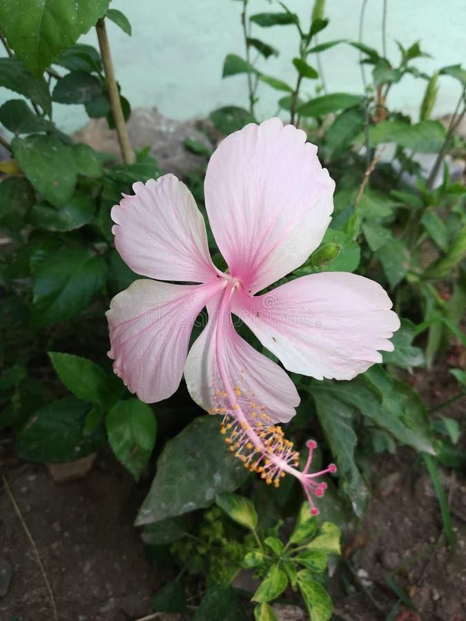 Minha vista impressionante da flor como mindinho imagem de stock