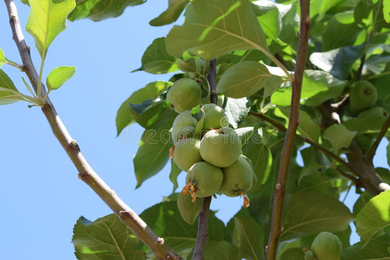 Minhas maçãs! foto de stock royalty free