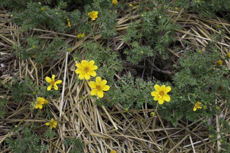 Mini żółty kwiatu kwiat w domu ogródzie obraz royalty free