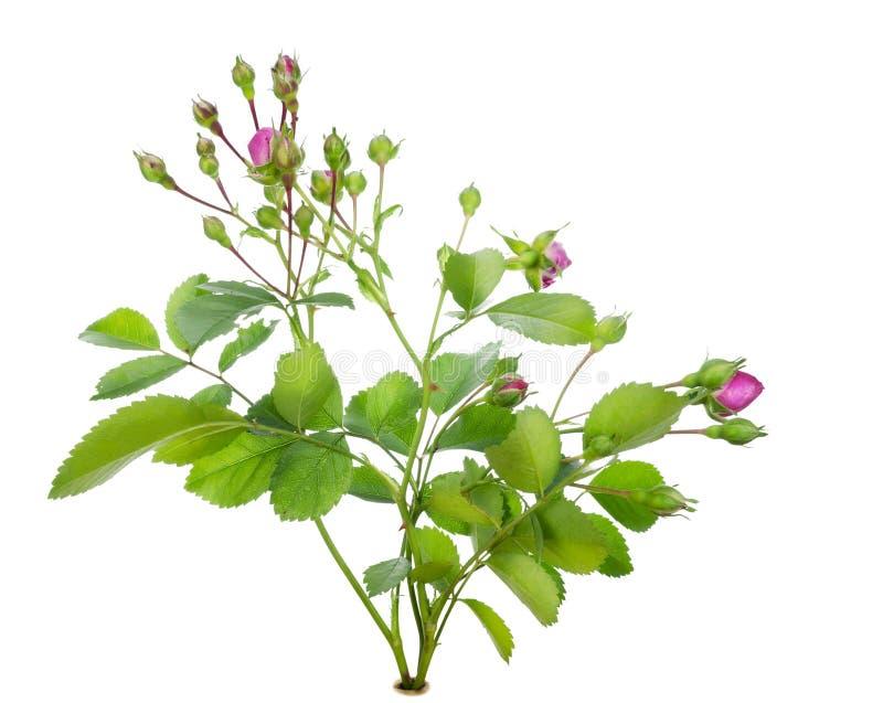Mini arbusto color de rosa rosado aislado foto de archivo libre de regalías