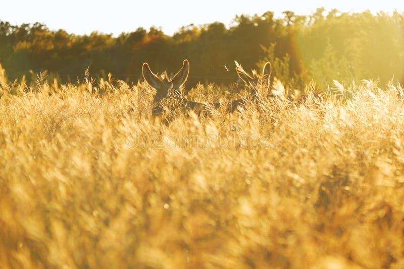 Mini asini nell'erba di caduta fotografia stock