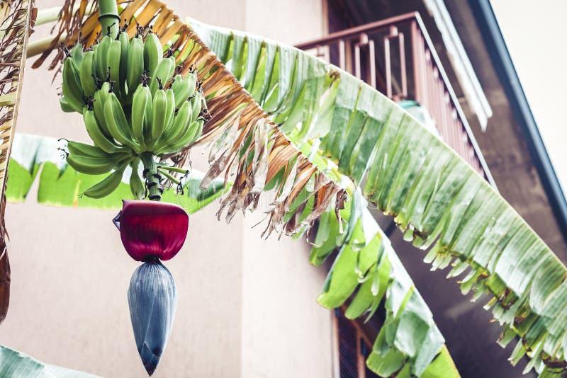 Mini banany na drzewie w Acitrezza, Catania, Sicily, Włochy fotografia stock
