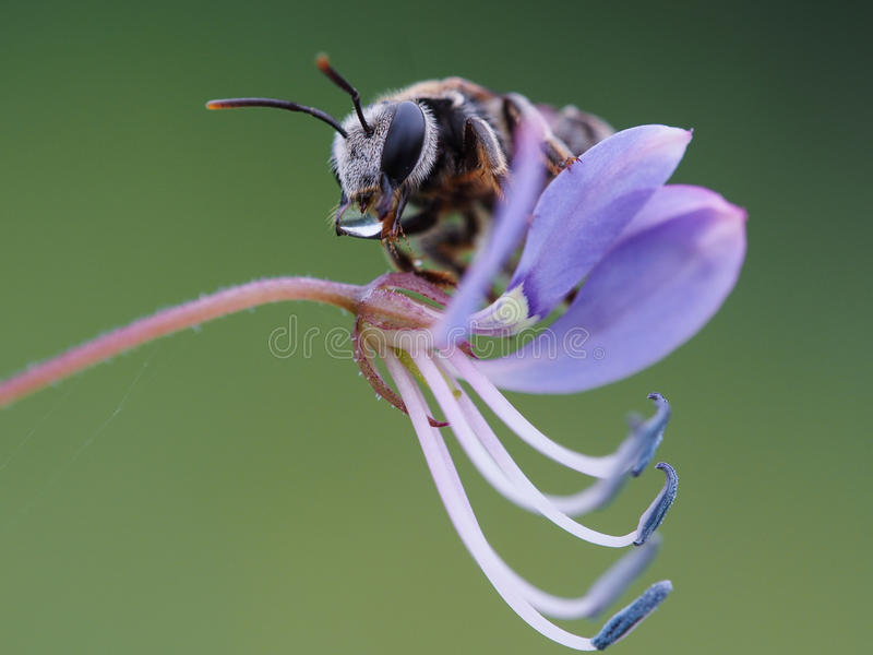 Mini Bee photo libre de droits