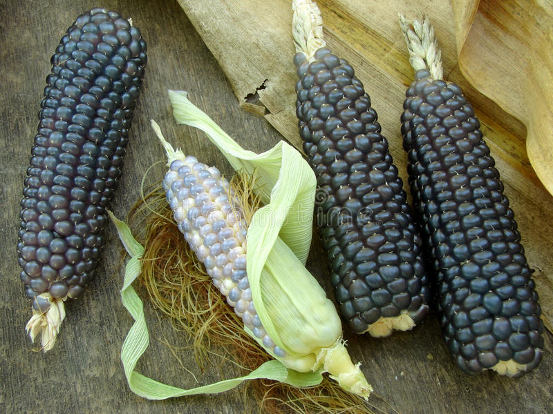 Mini blue corn stock photo