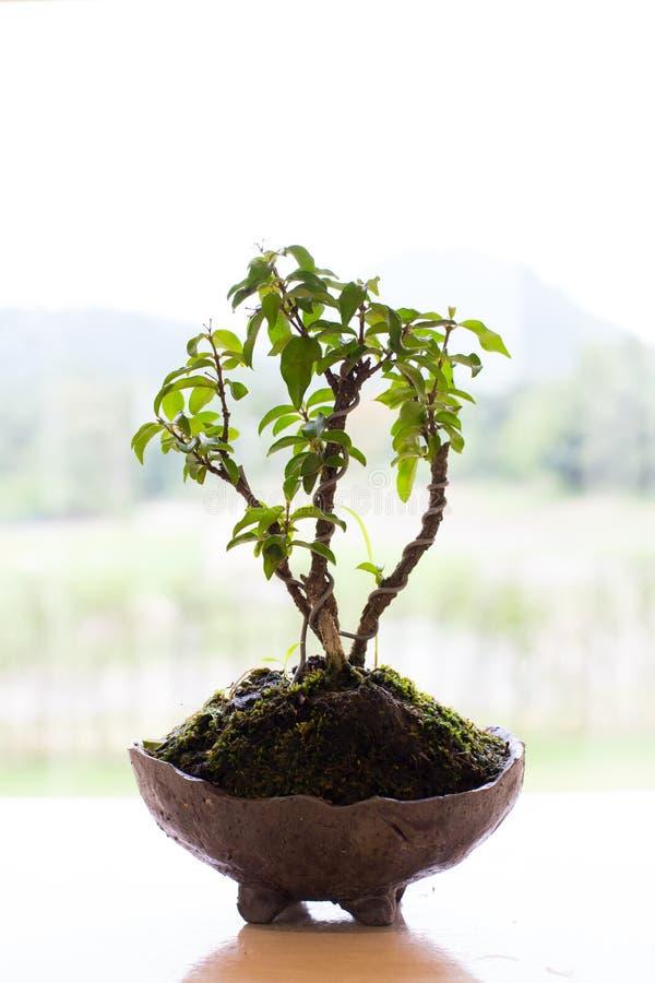 Mini bonsai drzewo fotografia royalty free