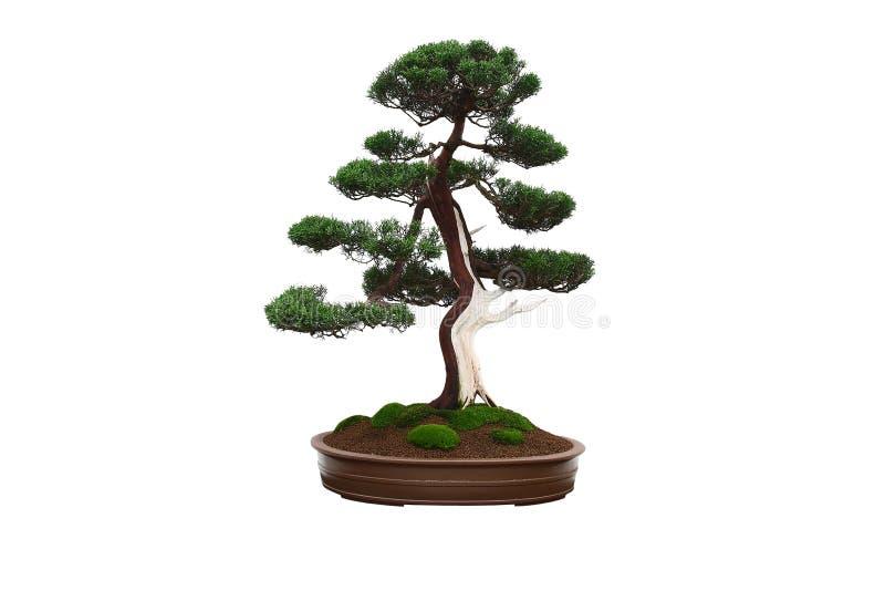 Mini bonsais da árvore fotos de stock royalty free