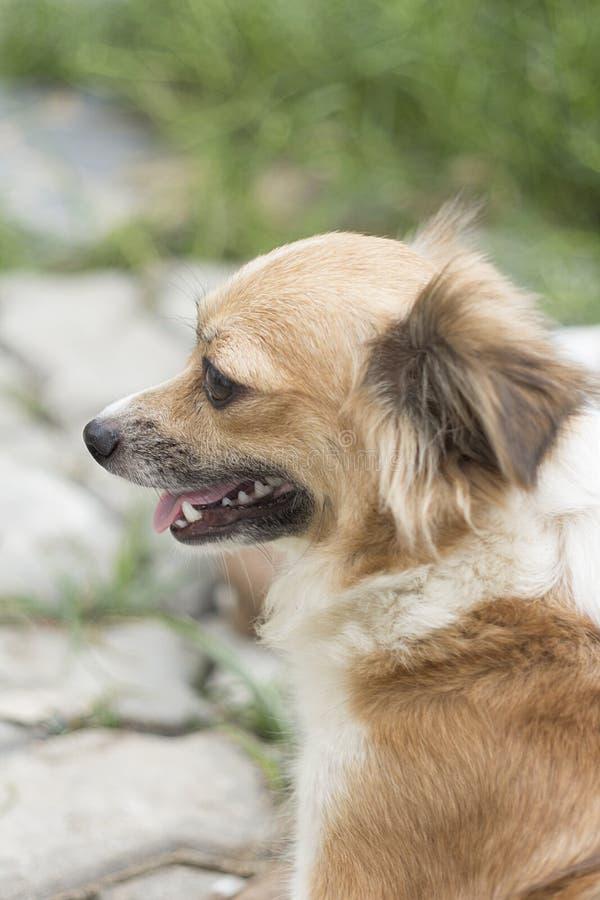 Mini cão da chihuahua foto de stock royalty free