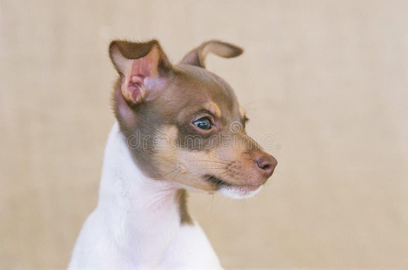 Mini cão do terrier de Fox foto de stock royalty free