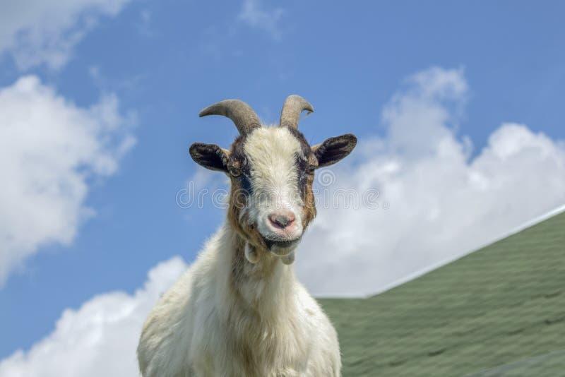 Mini cabra del Camerún en un tejado contra el cielo foto de archivo libre de regalías
