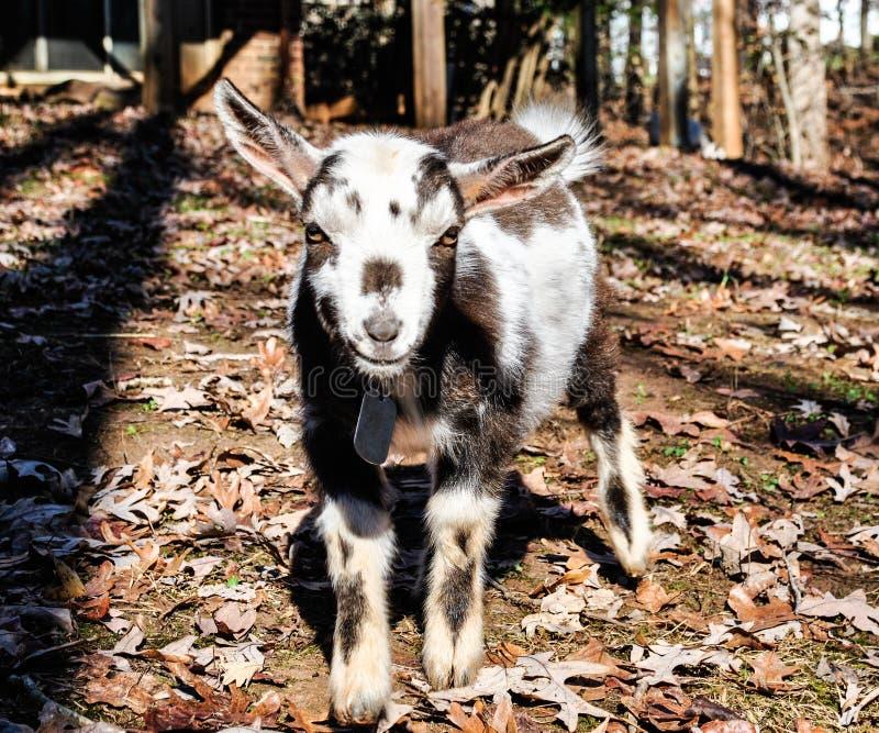 Mini cabra que olha direita em você imagens de stock