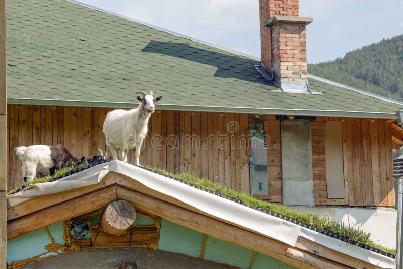Mini cabras del Camerún en el tejado foto de archivo libre de regalías