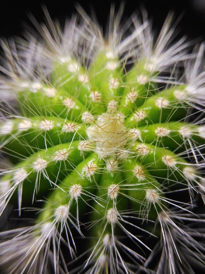 Mini Cactus fotografia stock libera da diritti
