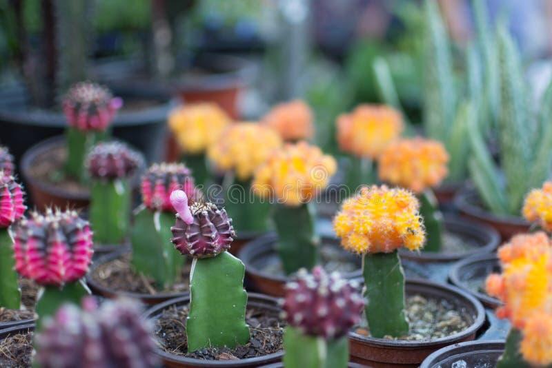 Mini cactus avec des couleurs roses et oranges photographie stock
