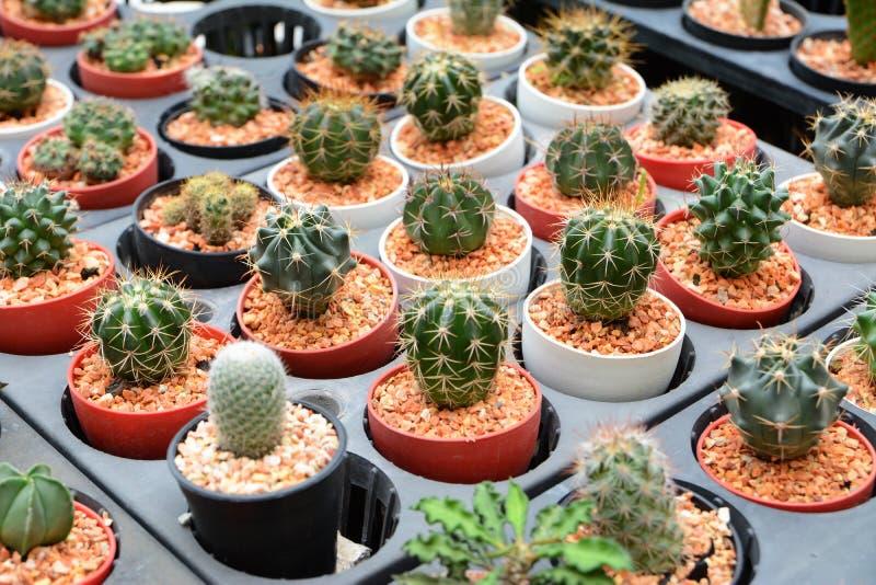 Mini cactus. Close up small cactus in vase stock image
