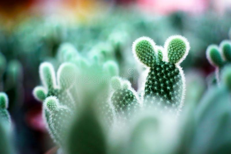 Mini Cactus with Mickey Mouse Shape. In the garden, the mini cactus with Mickey Mouse shape is particularly eye-catching, and it seems very interesting to look royalty free stock photos