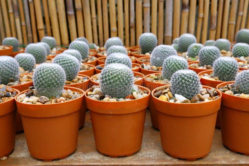 Mini cactus plants. stock images