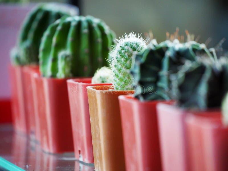 Mini Cactus v?xt p? krukan royaltyfri bild