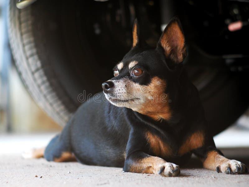 Mini cane grasso sveglio nero divertente adorabile di dimensione sotto un'automobile immagini stock libere da diritti