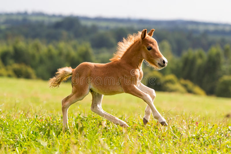 Mini cavalo Falabella do potro imagem de stock