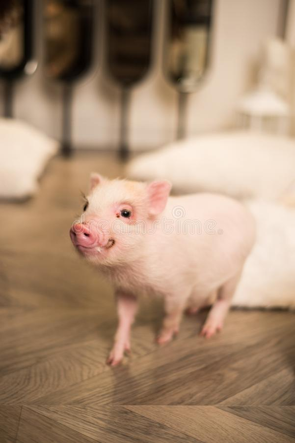 Mini cerdo rosado sonriente lindo, fondo borroso imagen de archivo libre de regalías