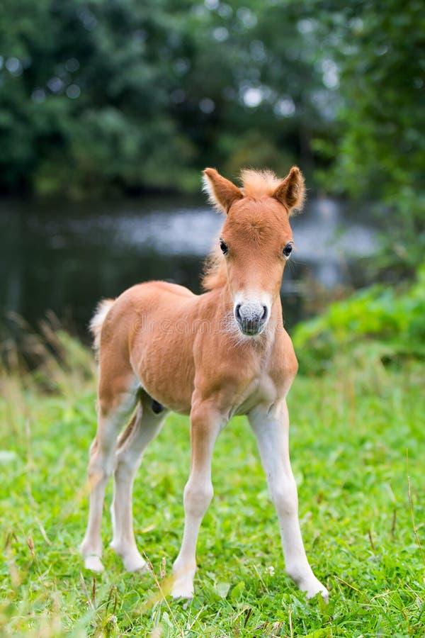 Mini cheval images stock