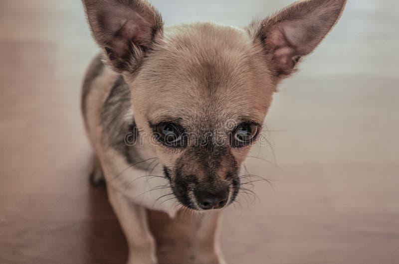 Mini chihuahua, little dog. Mini chihuahua puppy sad cute royalty free stock photography