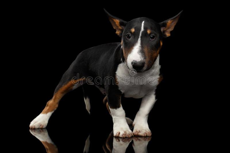 Mini chiot noir et blanc de bull-terrier sur le fond noir image libre de droits