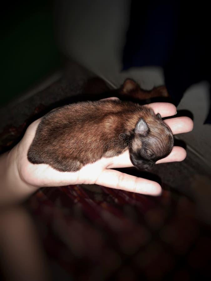 Mini chiots de Pomeranian dans le brun images libres de droits