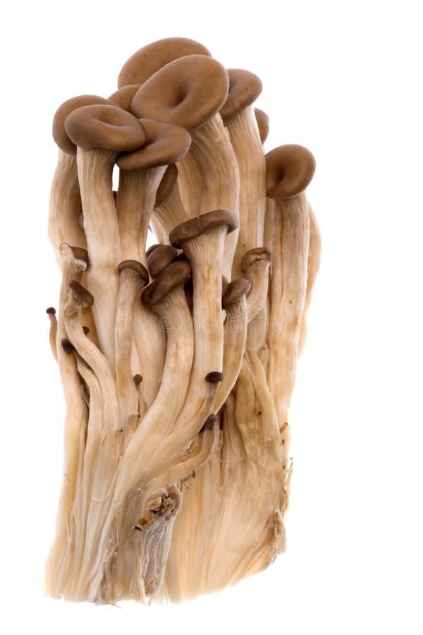 Mini cogumelos de ostra coreanos foto de stock royalty free