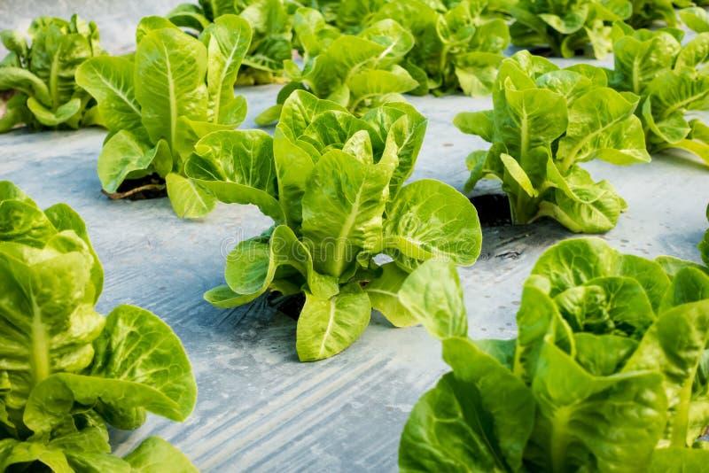 Mini Cos Lettuce imagenes de archivo