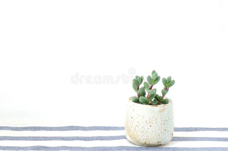 Mini Crassula Succulent Flowering Plants Pot stock photography