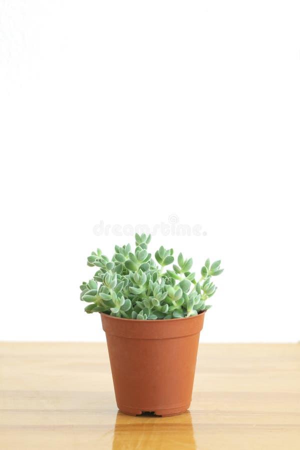 Mini Crassula Succulent Flowering Plants Pot stock photos