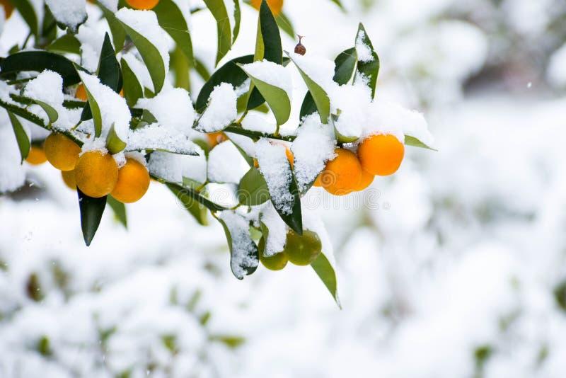 Mini cytrusa pomarańczowa owoc i liście zakrywający z śniegiem zdjęcie royalty free