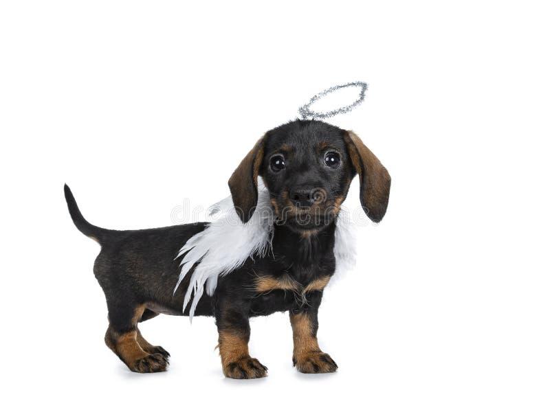 Mini Dachshund bonito super wirehaired, isolado no fundo branco fotografia de stock