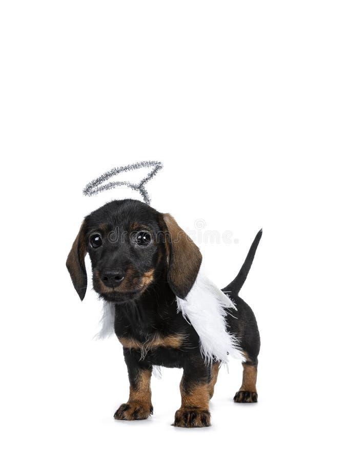 Mini Dachshund bonito super wirehaired, isolado no fundo branco imagem de stock royalty free