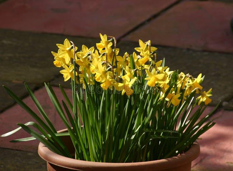 Mini Daffodils Immagine Stock Libera da Diritti