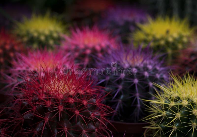 Mini doniczkowi kaktusowi jaskrawi kolorów kwiaty, dekoracje i obraz stock