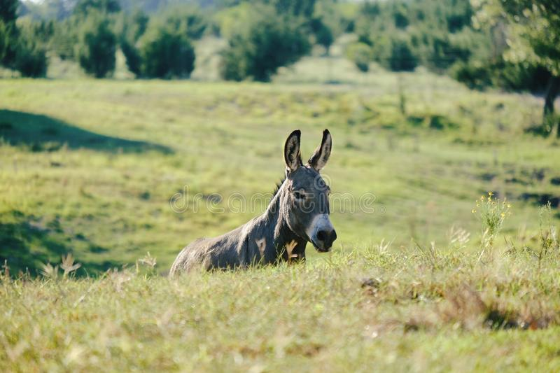 Mini donkey in Texas landscape. Mini donkey behind hills in Texas landscape on farm, scenic rural ranch royalty free stock photo