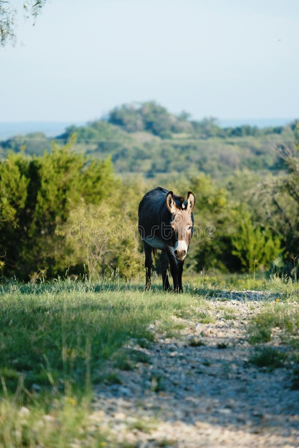 Mini donkey in Texas landscape. Mini donkey walking by path with hills of rural Texas landscape in background stock photo