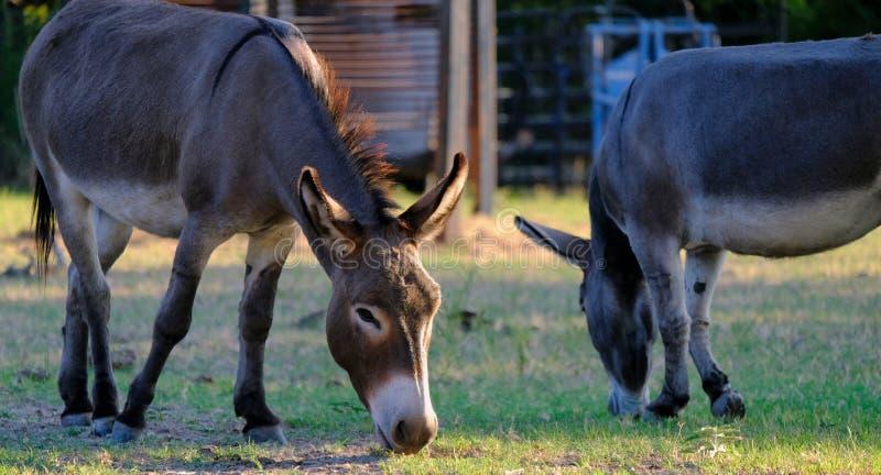 Mini Donkeys stock photo  Image of pregnant, pasture