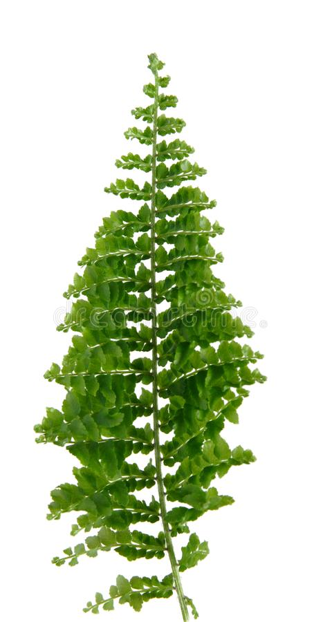 Mini Fern Leaf, Isolated Free Stock Photo