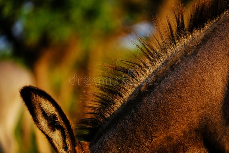 Mini fine della criniera dell'asino su fotografia stock libera da diritti